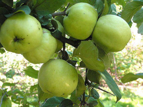 Яблоня антоновка десертная - отзывы о сорте, описание, фото