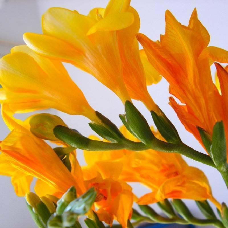 Цветы фрезия: фото, посадка в грунт и выращивание в домашних условиях
