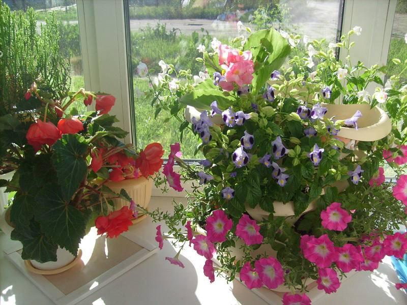 Торения выращивание из семян в домашних условиях фото посадка и уход