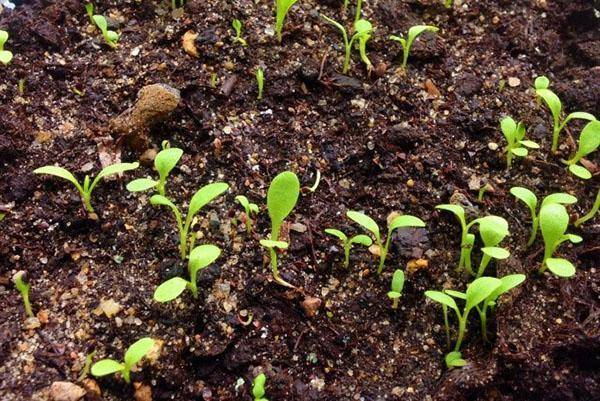 Выращивание щавеля и уход в открытом грунте и дома на подоконнике