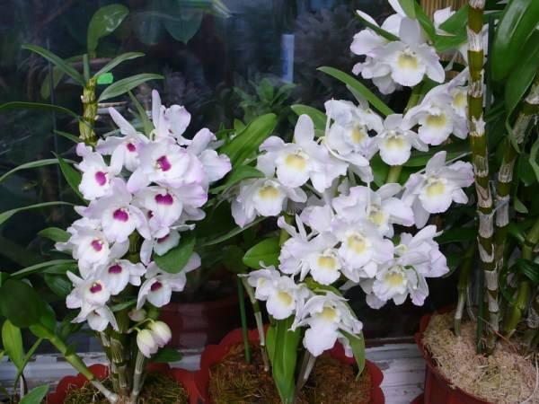 Желтые орхидеи (38 фото): виды и сорта с названиями. как выращивать фаленопсис в горшке?