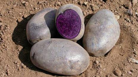 Сорта фиолетового картофеля: название картошки с кожурой фиалкового цвета и белой мякотью внутри, фото, описание других видов, в том числе таких как сирень и аметист