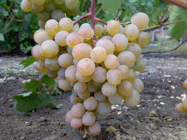 """Виноград """"алекса"""" характеристика гибридной формы, описание достоинств и особенностей сорта"""