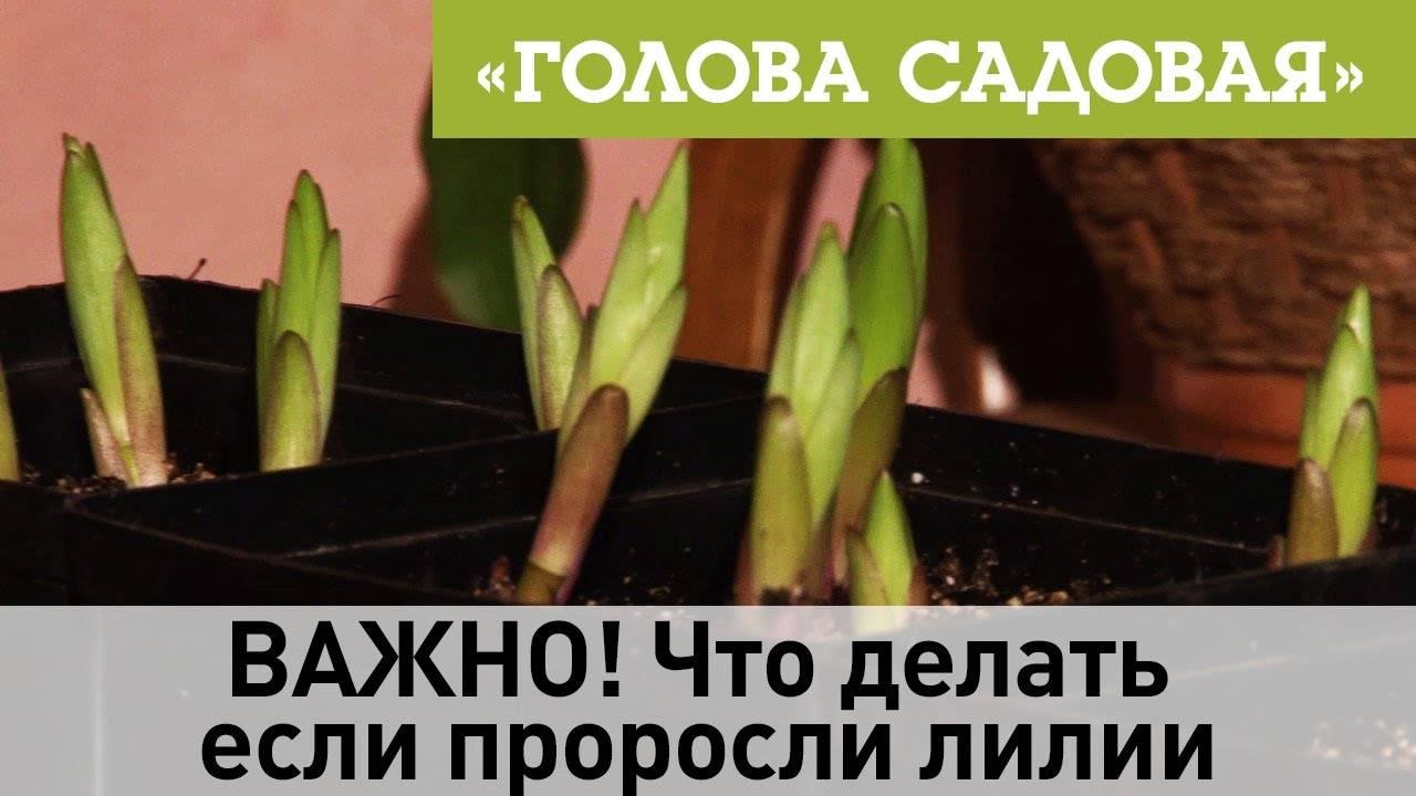 Уход за лилиями весной: как сажать весной луковицами, чем подкормить, как пересадить в грунт selo.guru — интернет портал о сельском хозяйстве