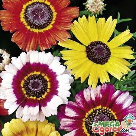 Хризантема килеватая: махровая, смесь окрасов, дунетти