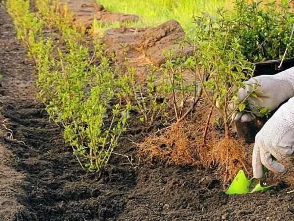Виды боярышника, особенности его выращивания.