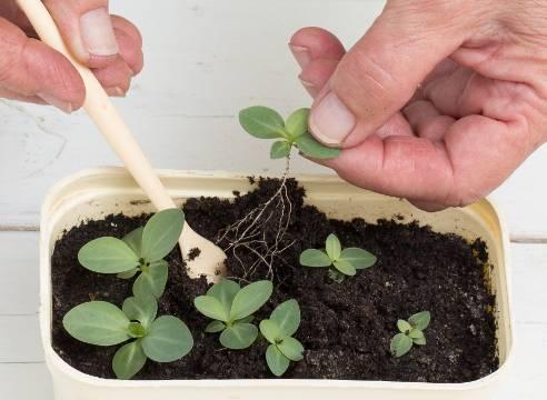 Эустома посадка и уход в открытом грунте, фото, размножение и болезни, когда сажать