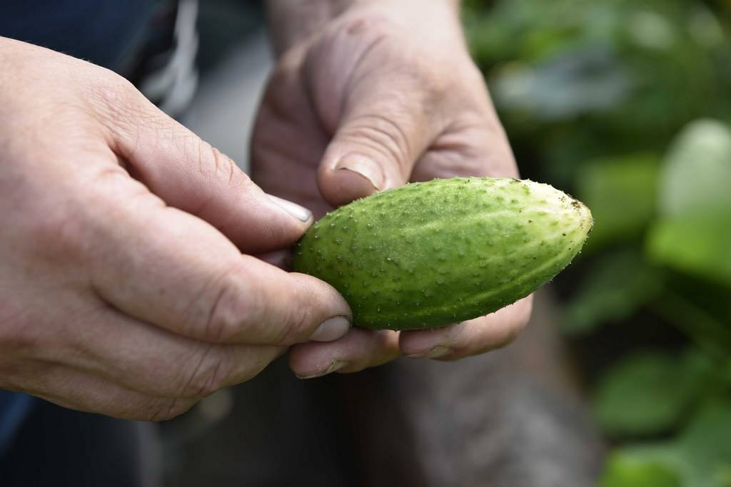 Сорта огурцов микс: наташа f1 - сельская жизнь