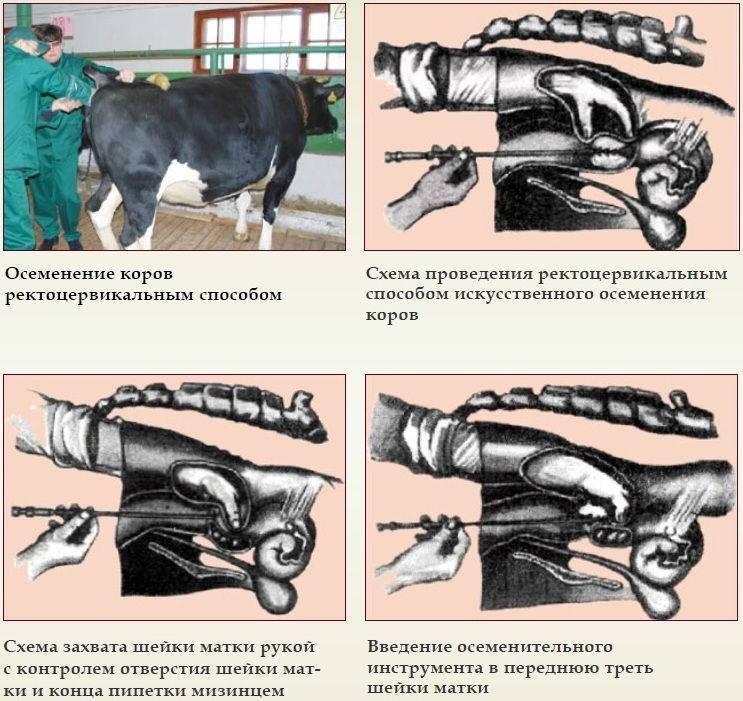 Известные способы осеменения коров, их преимущества и недостатки