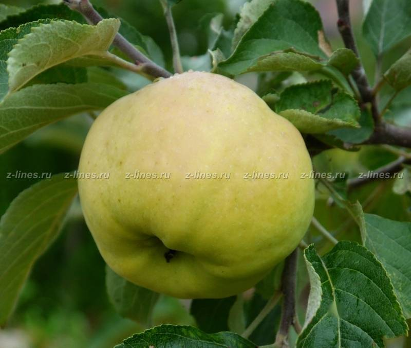 Антоновка (сортотип яблони) — самый популярный зимостойкий сорт