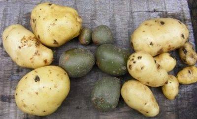Мой способ – как вырастить картофель из семян в домашних условиях