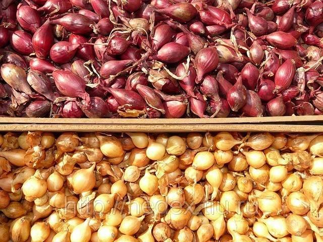 Ранний высокоурожайный гибрид лука «купидо» для выращивания в теплице и в открытом грунте