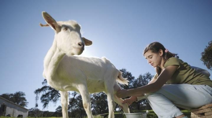 Кормление козы и козлят после окота