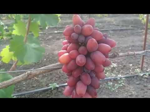 Виноград богема описание сорта фото отзывы видео