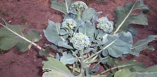 Как вырастить капусту брокколи в открытом грунте