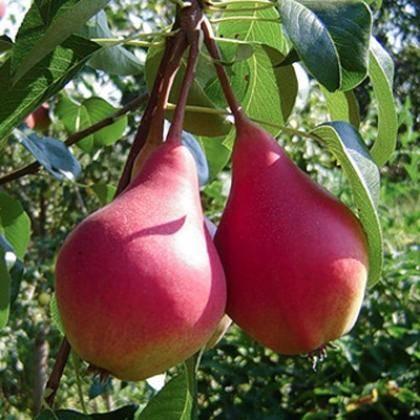 Сорта груш: описание и характеристики 45 лучших, как выбрать, урожайность