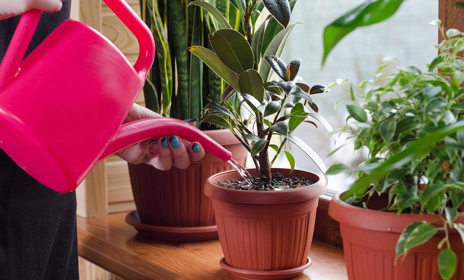 Как выращивать и ухаживать за домашним цветком фикусом: грунт, полив, размножение