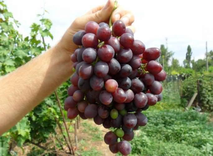 """Виноград """"краса никополя"""": описание сорта, фото и отзывы"""