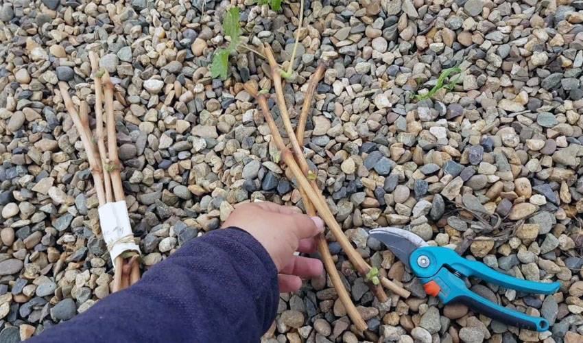 Как сохранить черенки винограда зимой: условия хранения до весны