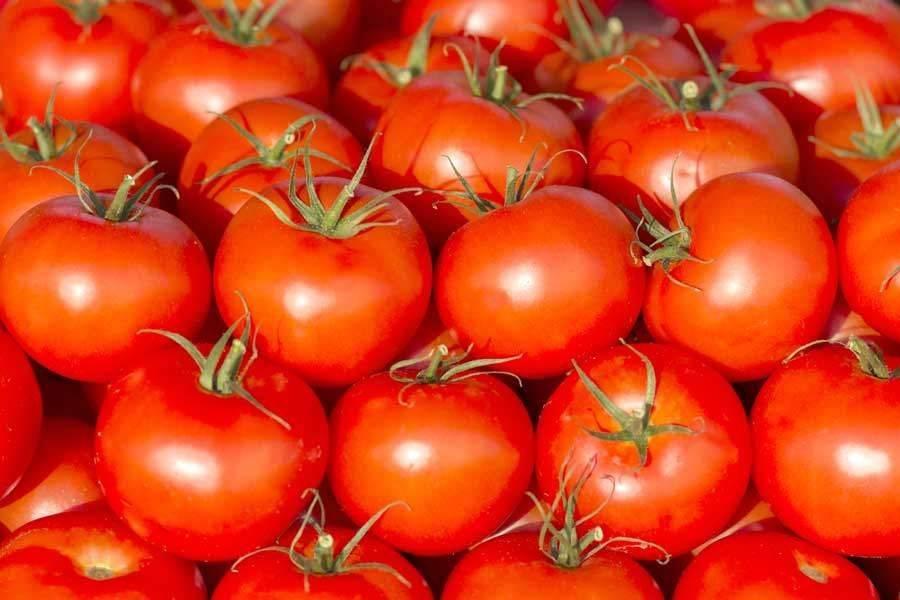 Сорта томатов устойчивых к фитофторозу | tomatland.ru