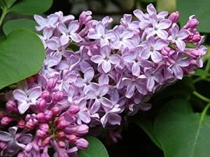 Сирень для подмосковья — выращивание размножение и уход