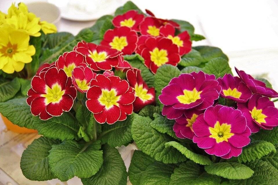 Примула махровая (19 фото): сорта «ромио», «примлет» и «розелла», посев и выращивание