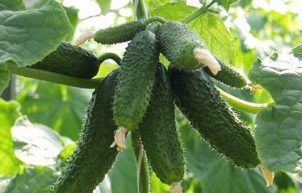 Огурцы герман: описание сорта, плоды, семена, время посадки, урожай