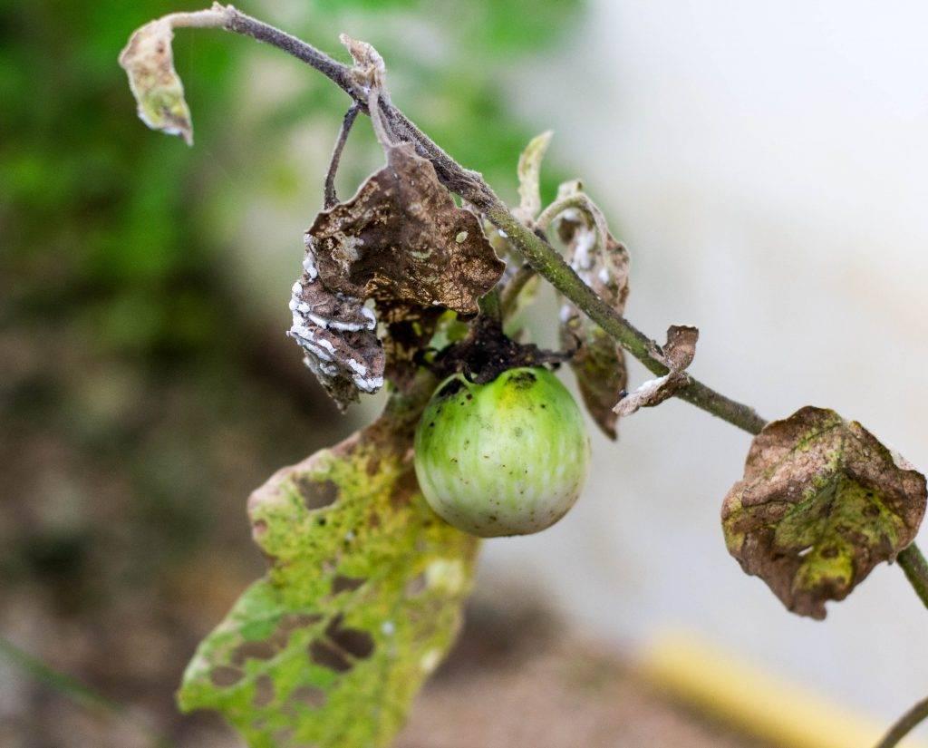 Что делать, если рассада баклажанов желтеет, нижние листья сохнут, вянут, опадают или их что-то жрет сеточкой, почему гибнет после всходов и как спасти от увядания?