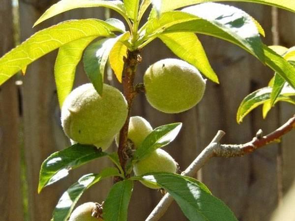 Нектарины вырастить в подмосковье. правила выбора сорта персика и нектарина для подмосковья   зелёный сад