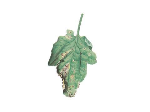 Септориоз томатов – лечение белой пятнистости на листьях рассады помидоров, фото, описание болезни