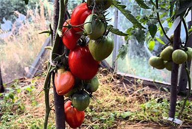 """Томат """"мазарини"""": характеристика и описание сорта, рекомендации по выращиванию и фото помидоров русский фермер"""