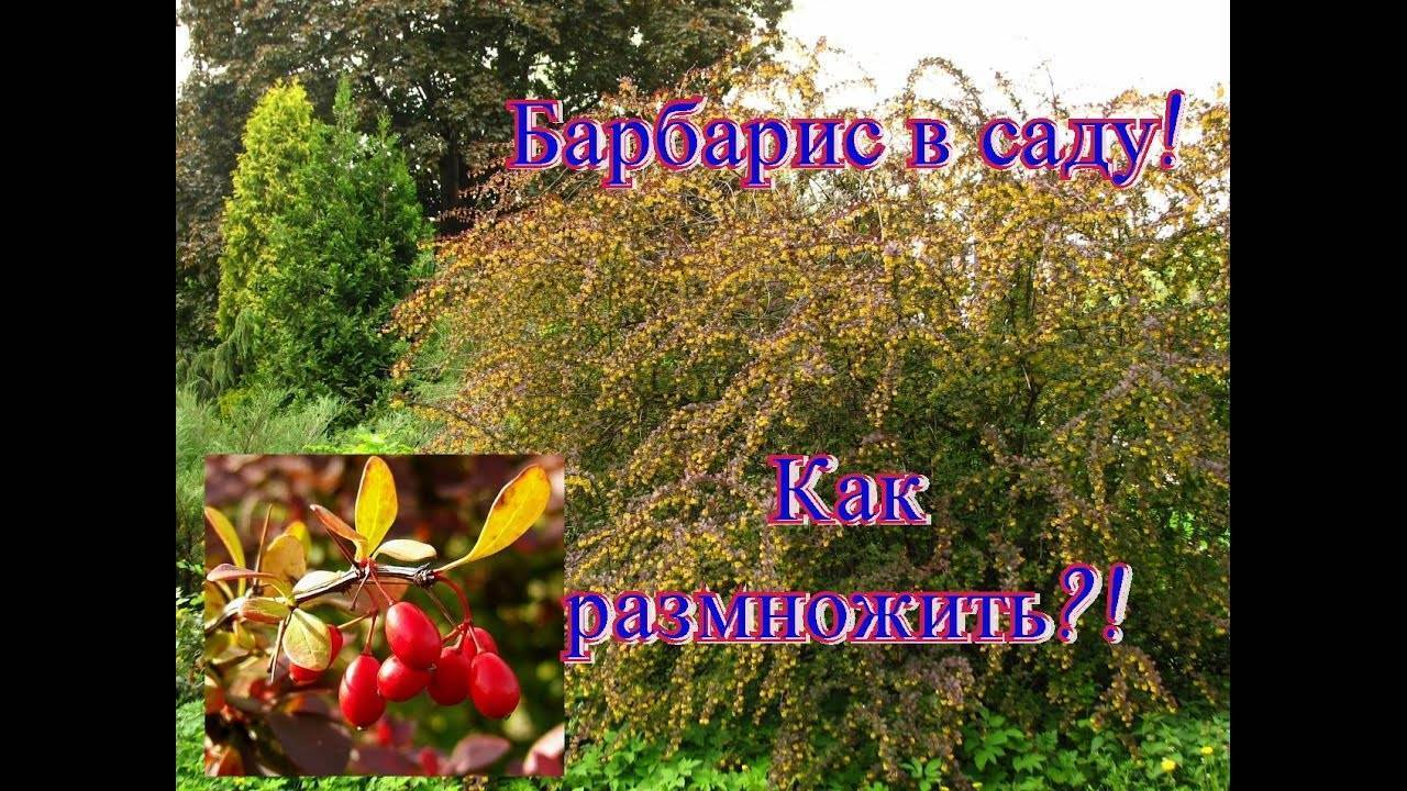 Способы размножения барбариса: когда и как правильно делать, деление куста, черенкование