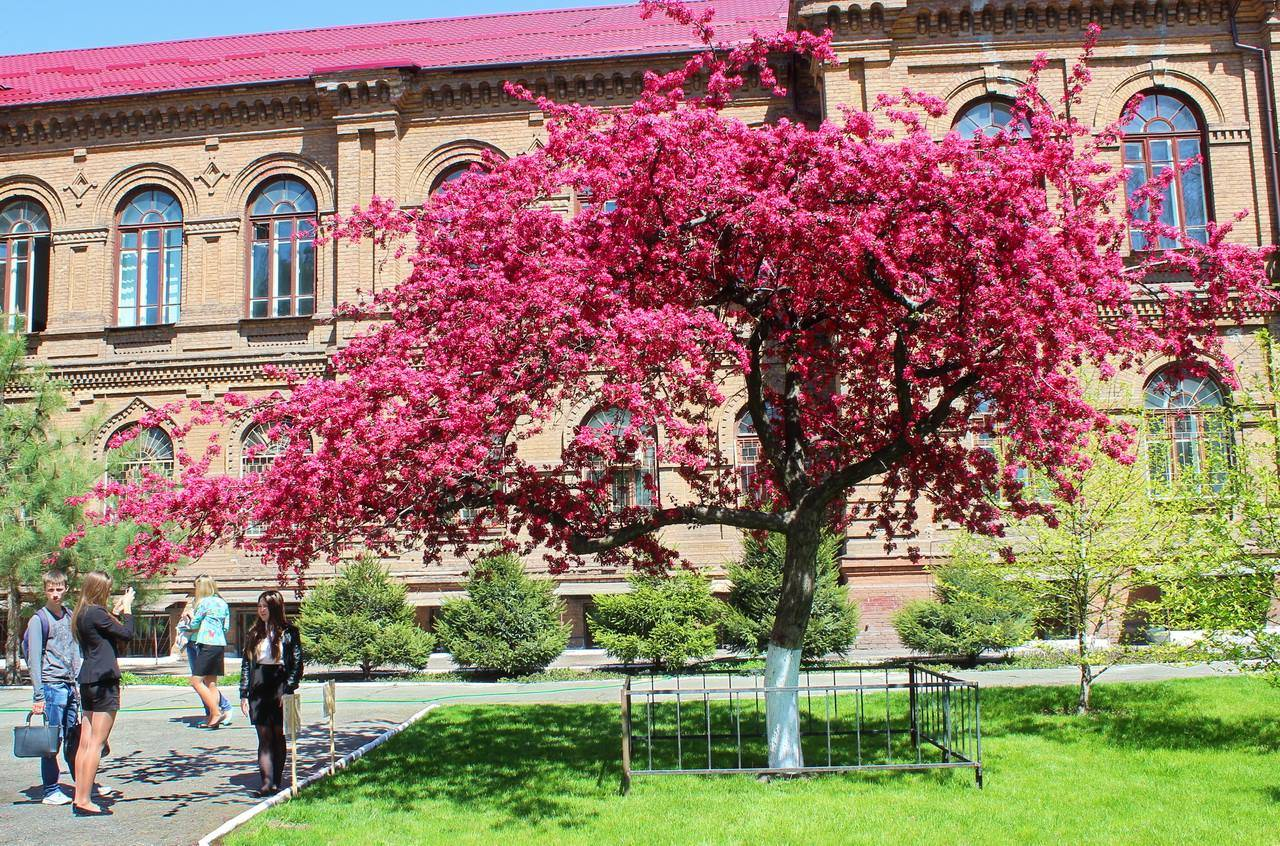 Как вырастить красивую декоративную яблоню недзвецкого