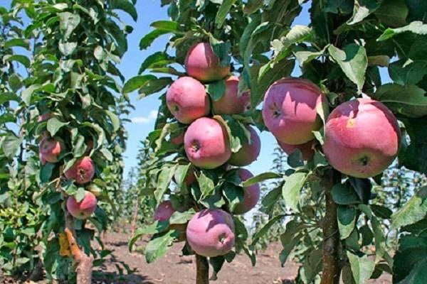 Колоновидные яблони для сибири: сорта и особенности вырщивания