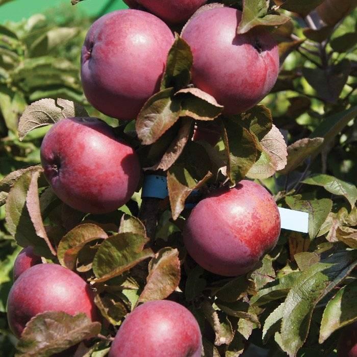 Колоновидная яблоня диалог: описание сорта, фото, отзывы