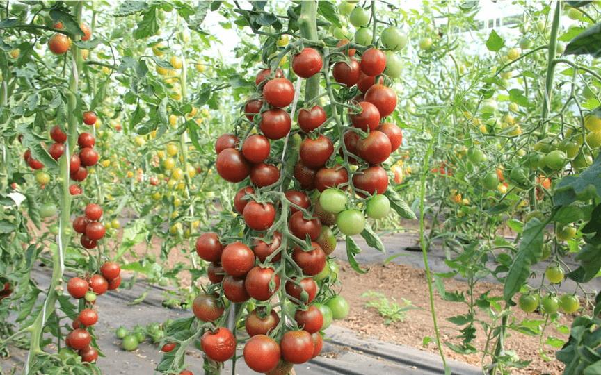 Помидор красным красно f1 - описание сорта с фото, характеристика, урожайность отзывы кто сажал