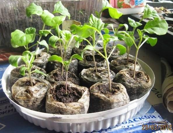 Обработка перед посадкой на рассаду семян помидоров, или томатов: как правильно готовить их к последующему посеву, надо ли обеззараживать, чем лучше воспользоваться? русский фермер