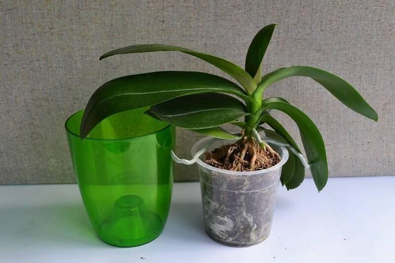 Узнайте, когда можно пересаживать орхидею, когда она цветет