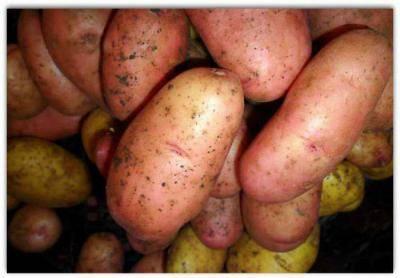 Картофель сынок описание сорта отзывы