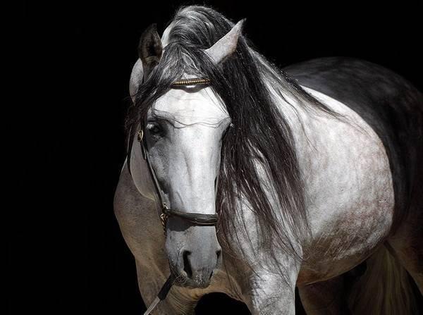 Андалузские лошади: фото, характеристики, уход и питание, разведение