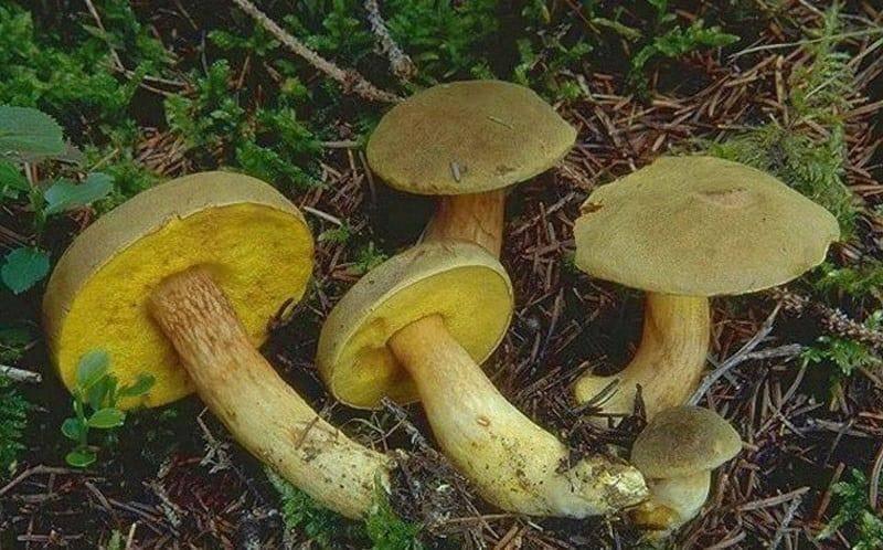 Ложный польский гриб фото и описание - ogorod.guru