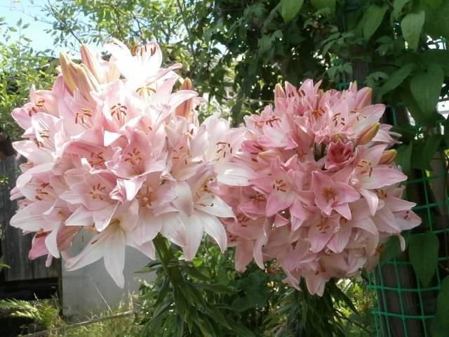 Лилейное дерево: посадка и уход, фото, размножение, сорта, выращивание в открытом грунте и сочетание в ландшафтном дизайне