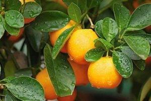 Лимон ташкентский: описание сорта, особенности выращивания