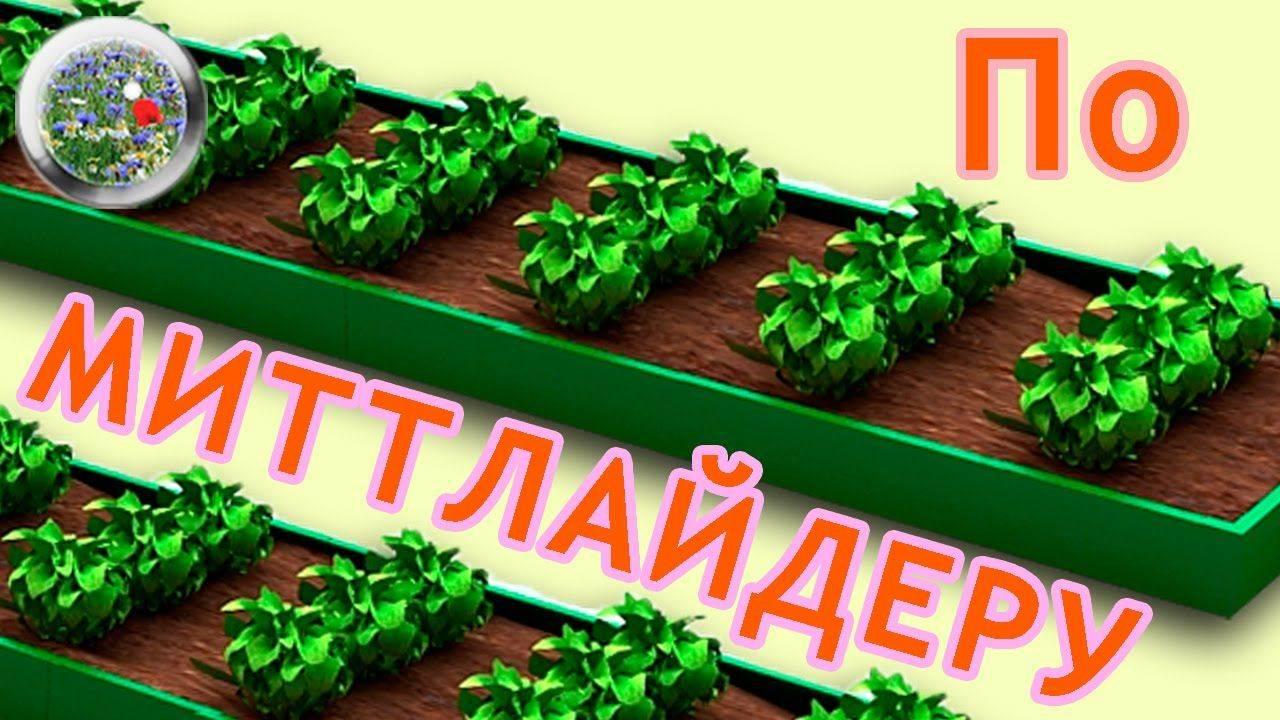 Посадка картофеля по методу митлайдера: схема грядок, видео, фото