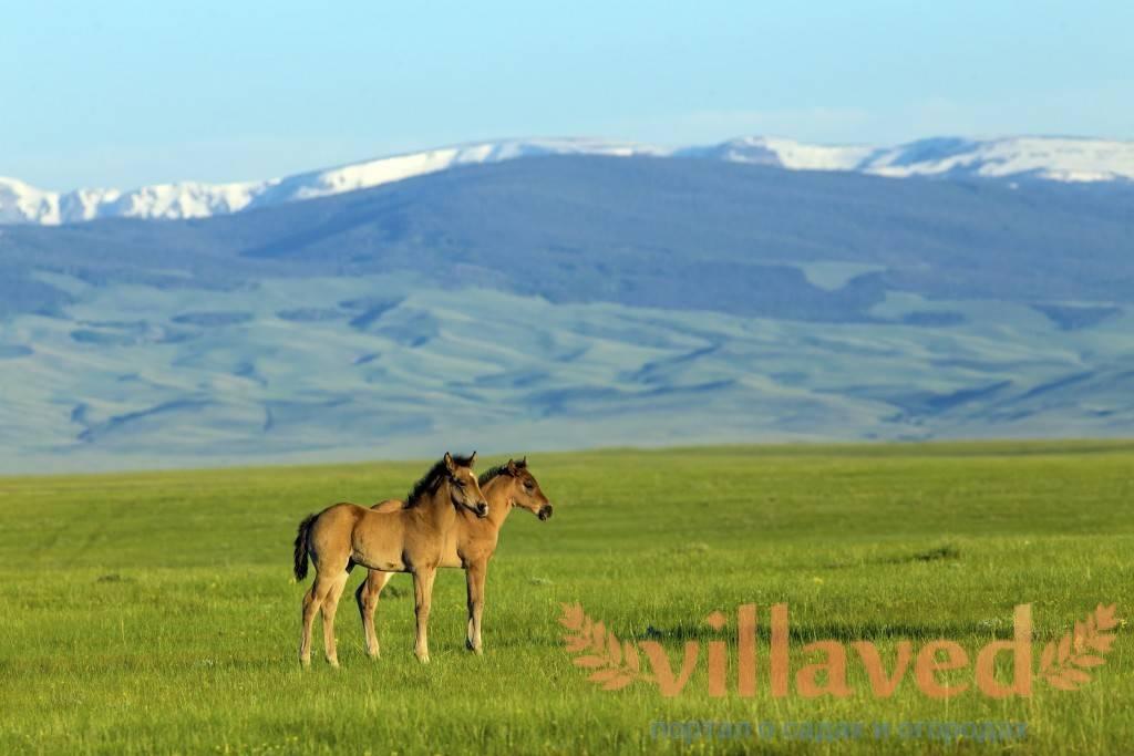 Лошадь скалистых гор — википедия