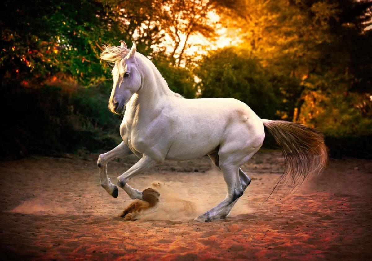 Марварская порода – лошади с завернутыми ушами 2020