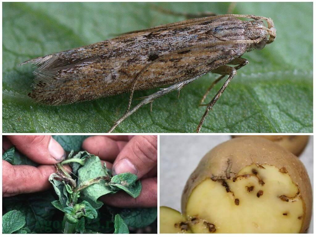 Картофельная моль - обработка и меры борьбы