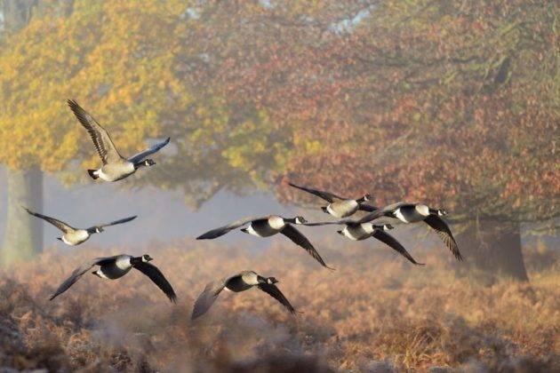 Охота на гуся осенью, на болоте, с засидки, видео и фото