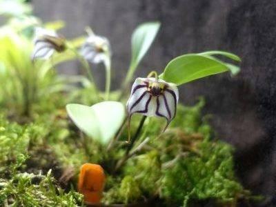 Масдеваллия фото, уход в домашних условиях, размножение масдеваллии