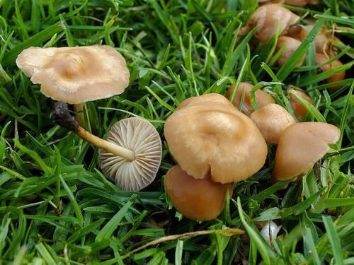 Лесные опята (виды): зимний опенок - фламмулина, осенний, луговой